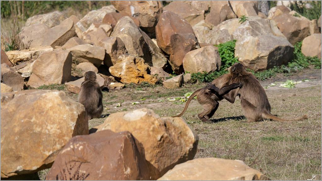 Terre des singes part4 44093266645_0abe2d648a_b