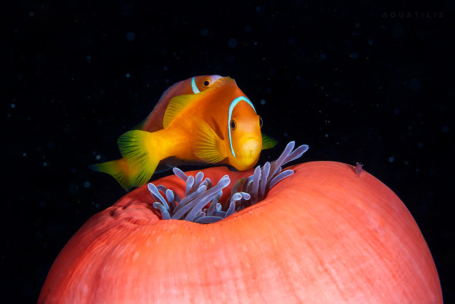 Amphiprion pair on top of the closed Heteractis magnifica