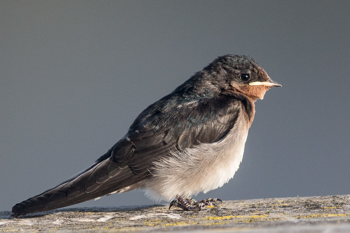 Welcome Swallow - baby