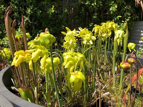Sarracenia flava var. rubricorpora in flower, 2018-2019 season