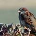 Chalkwell Sparrow!