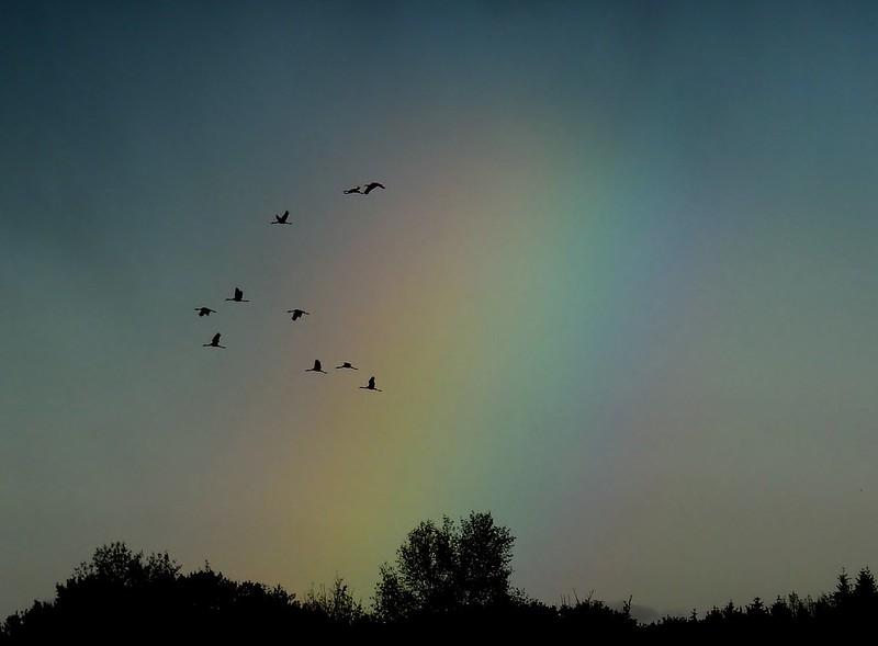 cranes &rainbow