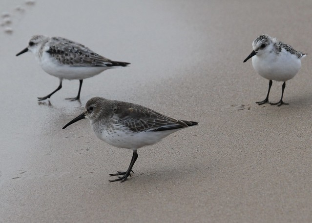 A dunlin and two sanderlings