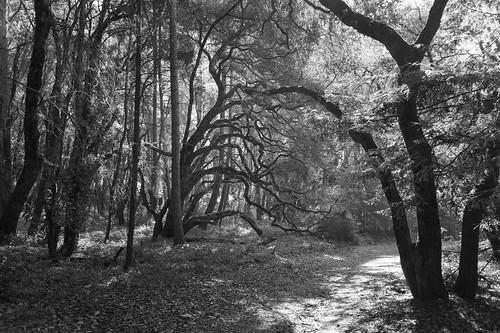 sony022 santacruz california unitedstates us trees entice beckon spooky bw blackandwhite forest