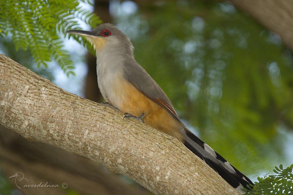 Cuco Lagartero de la Espanola (Hispaniolan Lizard-cuckoo) Coccyzus longirostris (Hermann, 1783)