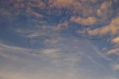 2018-10-26 Landskrona flyttfåglar