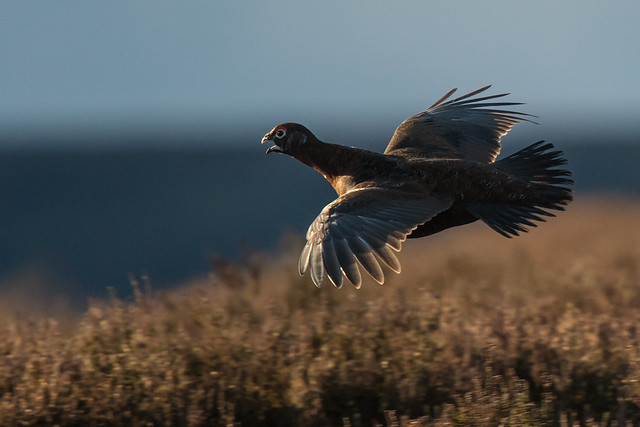 Red Grouse at full speed