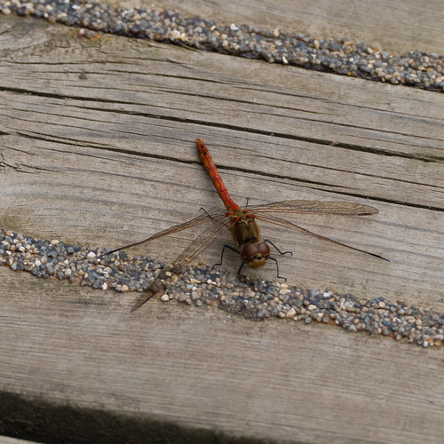 On the boards, common darter