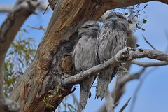 Mr and Mrs Tawny Frogmouth ( taking in the sunshine )