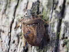 Turtle Shieldbug - Podops inuncta