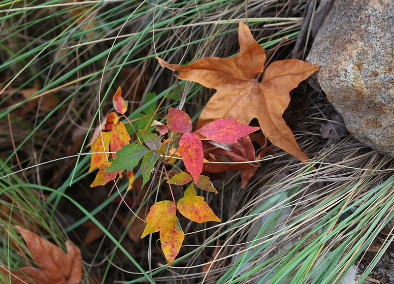 Poison Ivy and Sycamore leaves in autumn.