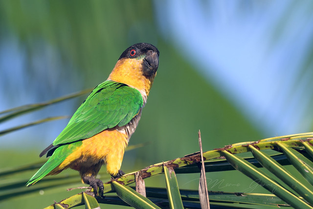 Black-headed Parrot (Pionites melanocephalus), Nikon D500, AF-S Nikkor 200-500mm f/5.6E ED VR