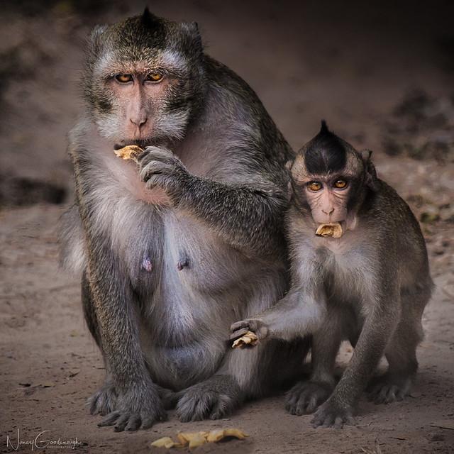 EXPLORED Rhesus monkeys at, Fujifilm X-T2, XF55-200mmF3.5-4.8 R LM OIS