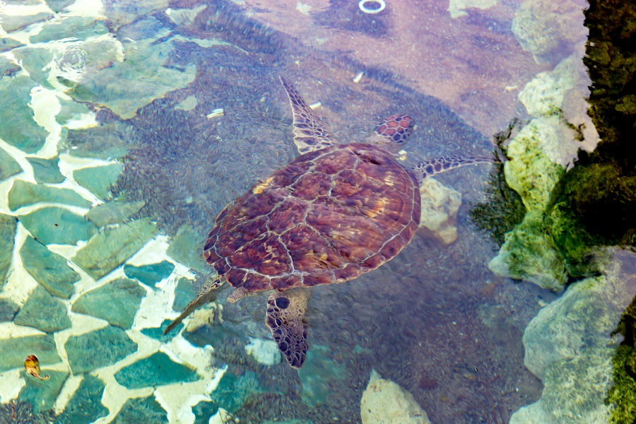 シギラベイサイドスイート アラマンダ ラグーンのウミガメ