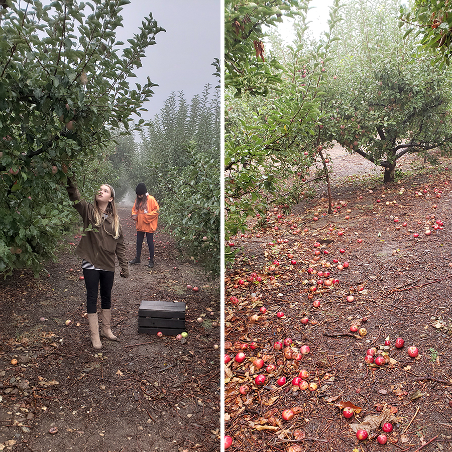 apple-picking-2