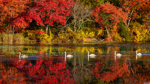 follow leader massapequapreserve longisland newyork autumn morning swans fallcolor fallfoliage landscape rpg90901 woods pond water trees foliage color fall canon 6d canonef24105mmf4lisusm outdoor massapequa nassaucounty 2015 october 0833 reflections