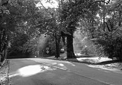 Morning Sunrays Through Trees; Long Island, New York