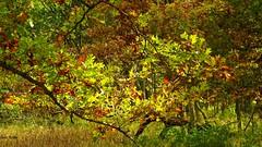 Bur oak leaves in the sunlight