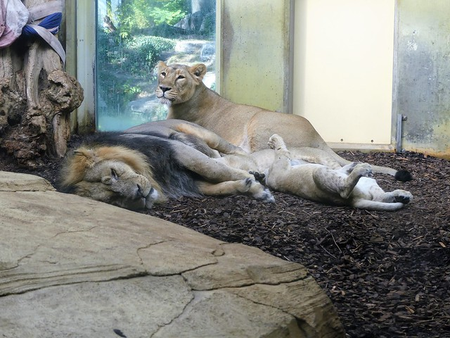 Löwen, Zoo Frankfurt