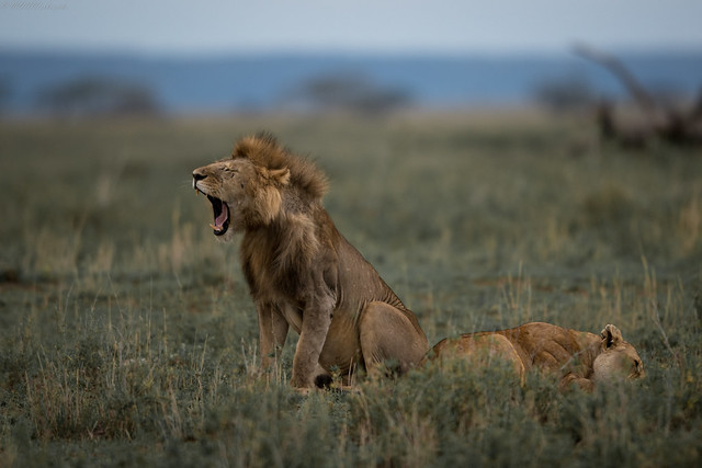 Serengeti couple, Nikon D500, AF-S VR Nikkor 400mm f/2.8G ED