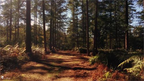 Bois de Belœil(Belgique-Hainaut)