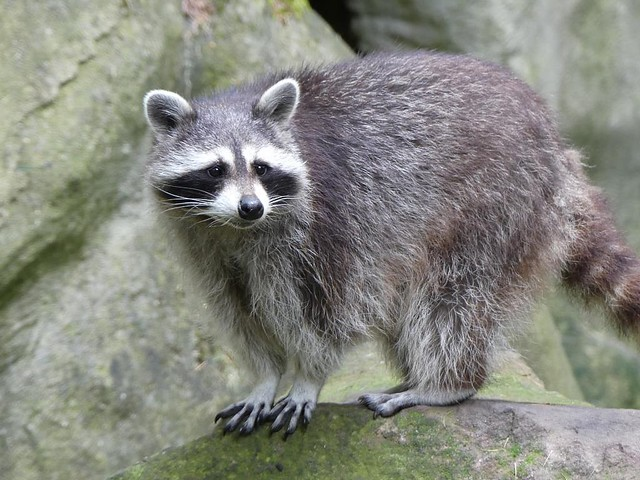 Waschbär, Tierpark Neumünster