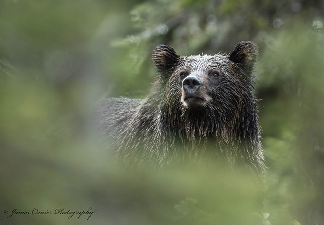 Grizzly Bear ... Explore 1-10-18 #10