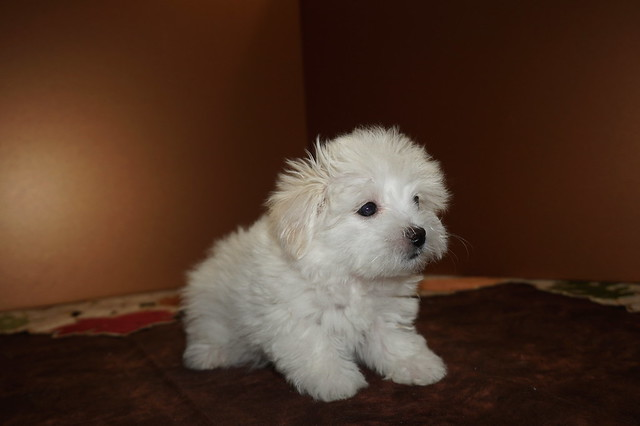 Havanese Pups Tlc Puppy Love