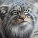 Pallas Cat. by irishishka