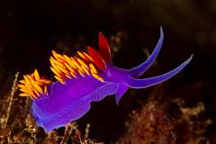 nudibranch1Sept28-18