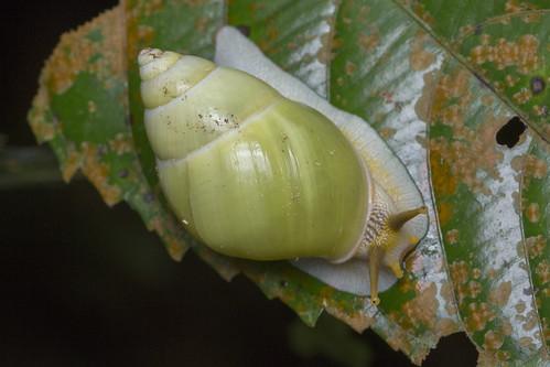 _Z2A1461 green tree snail