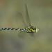 Blaugrüne Mosaikjungfer (Aeshna cyanea) 6709