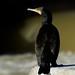 ...cormoran by josemonreal
