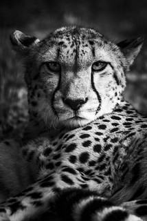 Cheetah, black and white