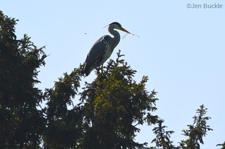 Heron at the top of tree