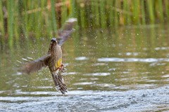 Red Wattlebird ( quick dip )