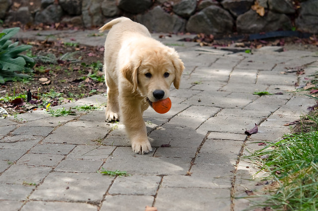 Little Retriever