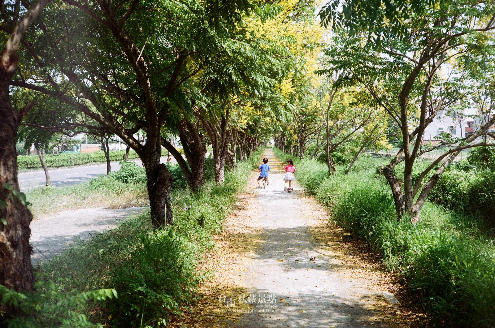 台南台灣欒樹16