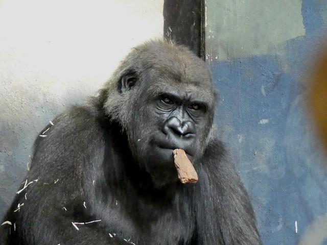 Gorilla, Zoo Givskud