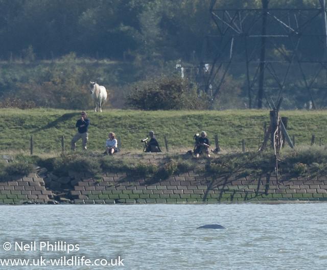 Thames beluga whale-11