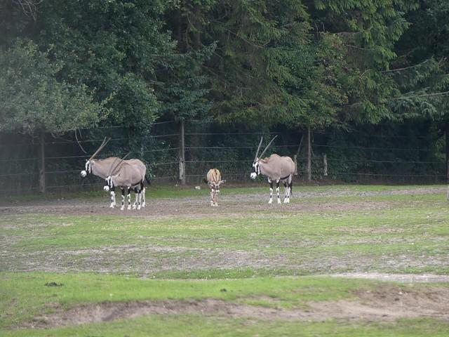 Oryxantilope, Zoo Givskud