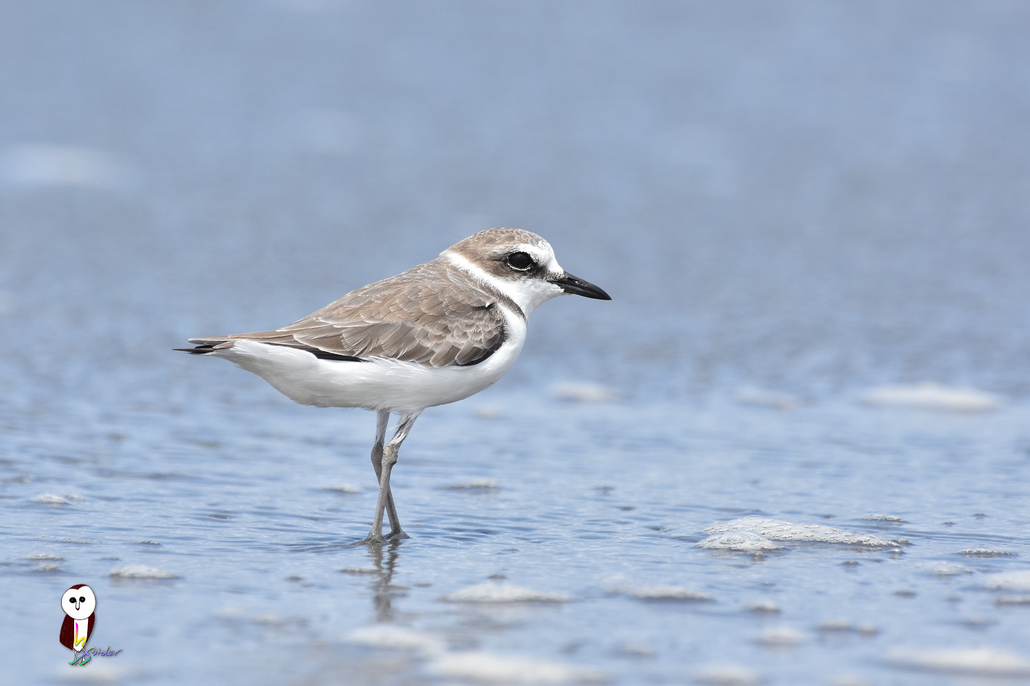 Kentish_Plover_6077