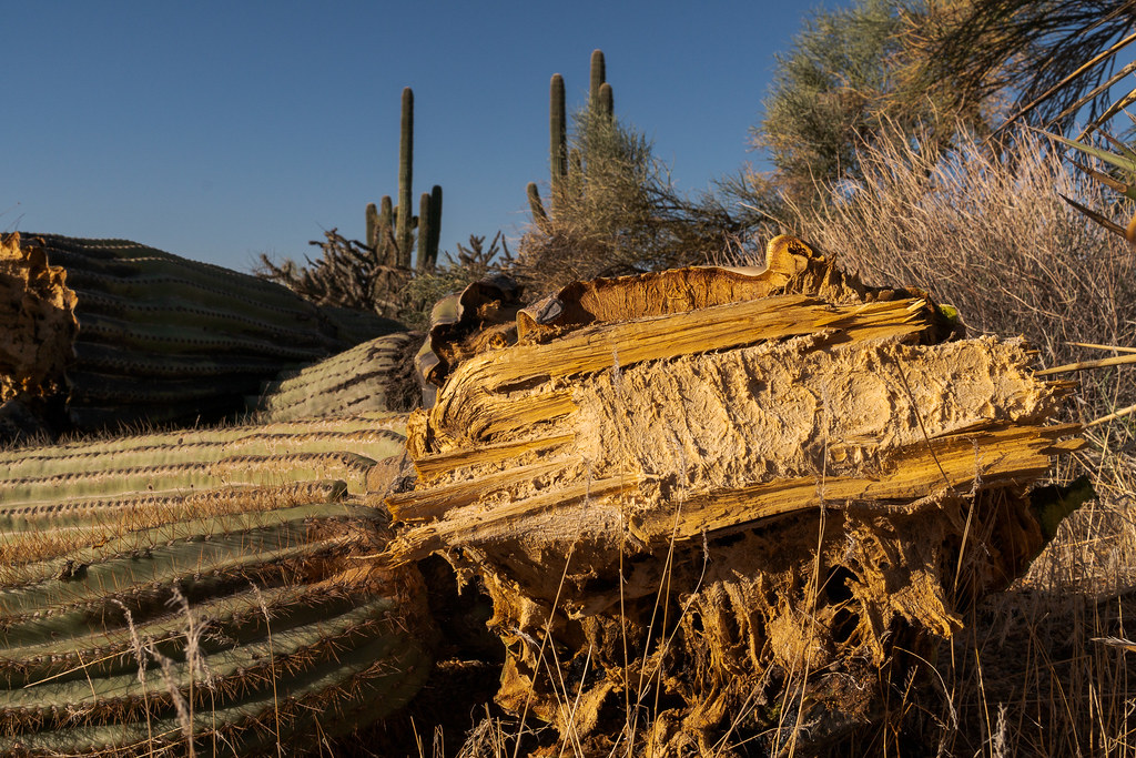 The fallen arm of a saguaro shows the spongy tissue inside the skeleton where water is stored, taken on the Balanced Rock Trail in McDowell Sonoran Preserve