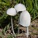 Snowy Inkcap Coprinopsis nivea