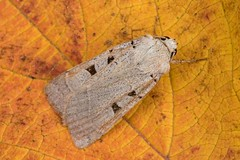 2117 Autumnal Rustic (Eugnorisma glareosa)