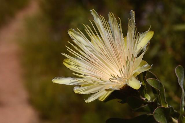 Protea aurea, Nikon D7100, AF Micro-Nikkor 60mm f/2.8D