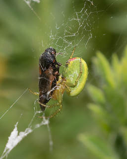 Arachtober 20 - Araniella species (green orb weaver)