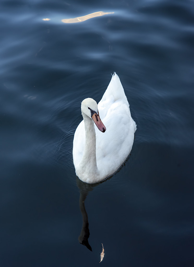 "Copenhagen swan -- perhaps the descendant of the inspiration of Hans Christian Andersen's ""The Ugly Duckling""?"