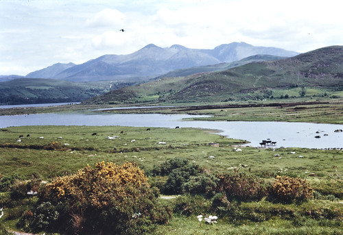 richardtilbrook tilbrookphotographiccollection nationallibraryofireland 1960's heatherchicken cows mountains macgillycuddysreeks caraghlake countykerry locationidentified kilorglin cattle lake hills glenbeigh