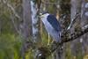 Black-crowned Night Heron by DFChurch